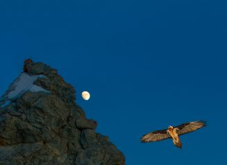Gypaetus Flying Near A Rock At Dusk With The Moon